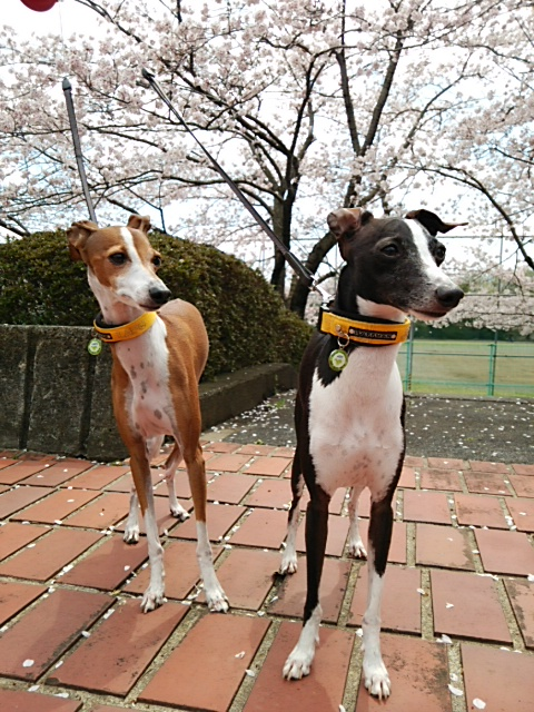 毎日、桜並木を散歩♪